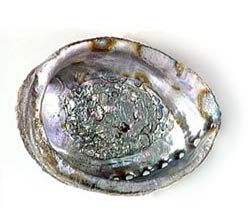 Abalone Shell - Whole, Large  - Size Varies 6-7 ""